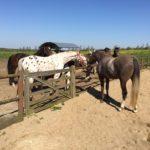 Ny hest hilser på de andre fra ridebanen